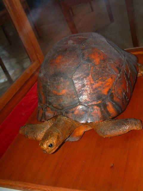 The Tu I Malila Pet Tortoise Of The Tongan Royal Family