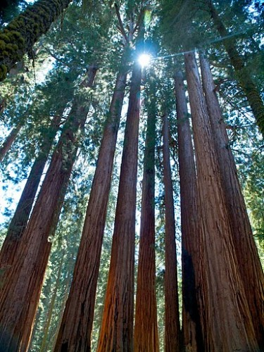 Sequoia redwoods