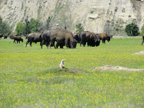 Bison and Prairie Dog