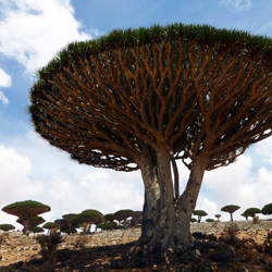 Travel to the Island of Socotra and Yemen – Episode 403