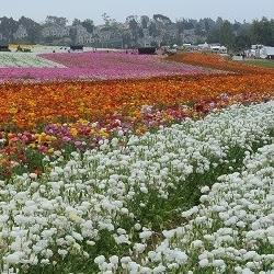 Visit the Flower Fields in Carlsbad, California