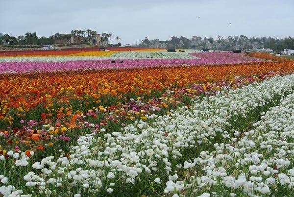 Beautiful Carlsbad flower fields