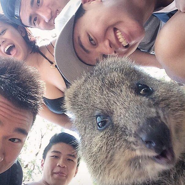 Rottnest Adası'ndaki Quokka Selfies