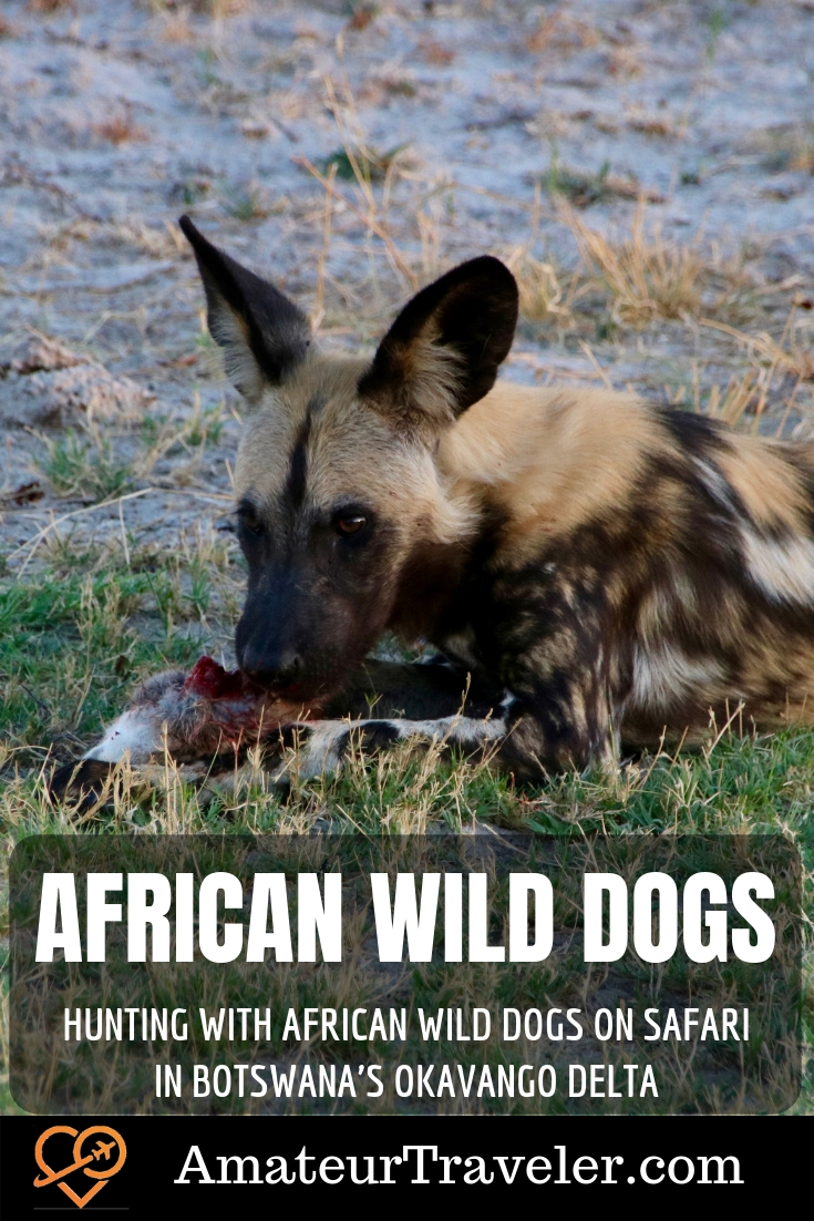 Hunting with African Wild Dogs on Safari in Botswana's Okavango Delta | Mobile Safari | Moremi Wildlife Reserve