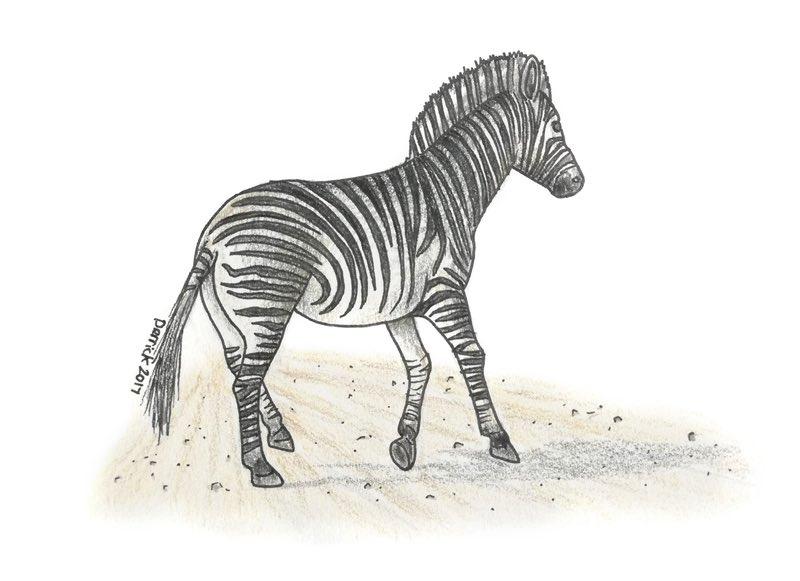 Zebra kroki
