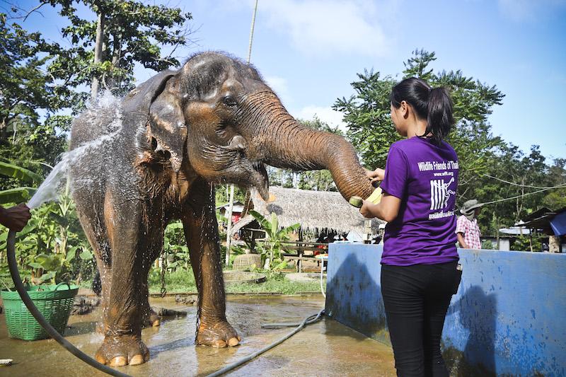 Tayland Fil Ormanı Barınağında Gönüllülük
