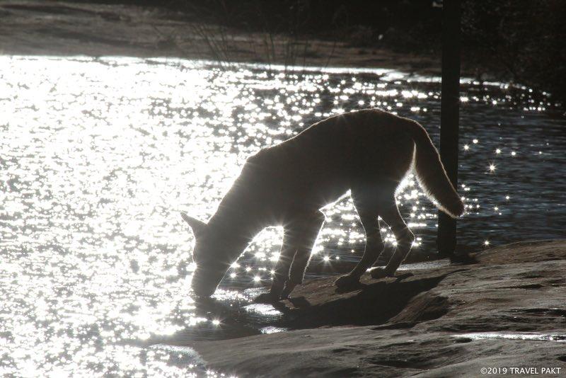 Dingo en la piscina