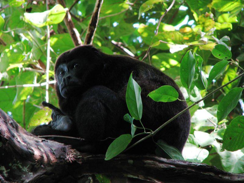uluyan maymun